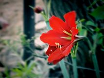 Tiger lily royalty free stock photography