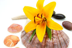 Tiger lily and sea shell Stock Image