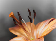 Tiger Lily up close Royalty Free Stock Photo