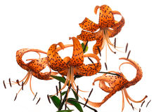 Tiger lily on white background Stock Photo