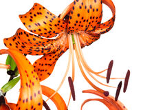 Tiger lily on white background Stock Photography