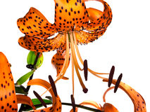 Tiger lily on white background Royalty Free Stock Image