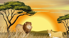Tiger and lion Royalty Free Stock Image
