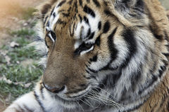 Tiger. Living in a zoo Italian Stock Photography