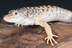 Tiger lizard Stock Photography