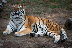 Tiger. In a local zoo royalty free stock image