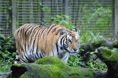 Tiger. Located in Muzha, Taipei City Zoo is a few minutes' walk from the Taipei City Zoo MRT Station. It is considered as one of the largest zoos in Asia with royalty free stock photos