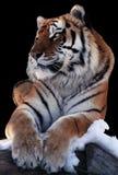 Tiger lokalisiert am schwarzen Legen an der Schneenatürlichen größe Stockbilder