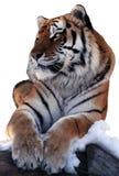 Tiger lokalisiert am weißen Legen an der Schneenatürlichen größe Stockfoto