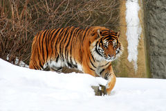 Tiger. A lone tiger walking on snow in winter Royalty Free Stock Photography