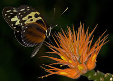 Tiger Longwing Royalty Free Stock Images