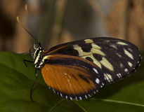 Tiger Longwing Butterfly. Macro photo of a Tiger Longwing Butterfly, Heliconius hecale stock image