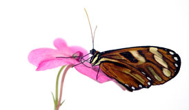 Tiger Longwing Butterfly Royalty Free Stock Photos