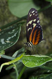 Tiger Longwing Butterfly. A Tiger Longwing Butterfly of the Nymphalidae family, found from Mexico through the Peruvian Amazon stock photo