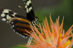 Tiger Longwing Butterfly Royalty Free Stock Photography