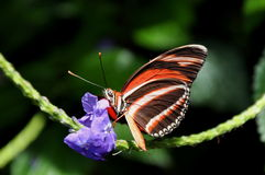 Tiger Longwing Butterfly Stock Photography