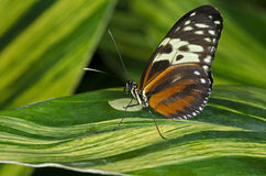 Tiger Longwing Butterfly. A Tiger Longwing Butterfly (Heliconius hecale) of the Nymphalidae family, ranging in Central and South America stock images