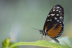 Tiger Longwing Butterfly Royalty-vrije Stock Afbeeldingen