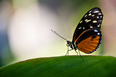 Tiger Longwing Butterfly Image stock