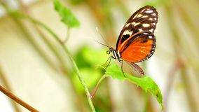 Tiger Longwing butterfly in aviary Royalty Free Stock Photo