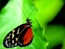 Tiger Longwing butterfly Stock Images