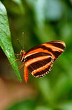 Tiger Longwing Butterfly,Dryadula phaetusa. A closeup of a tiger longwing butterfly fixed on a plant leaf royalty free stock photography