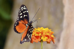 Tiger Longwing butterfly feeding on flower Royalty Free Stock Photos