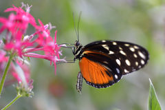 Tiger Longwing butterfly on flower Stock Photos