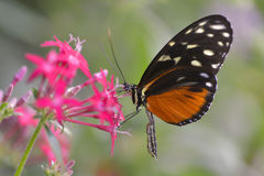 Tiger Longwing butterfly on flower Stock Images