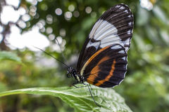 Tiger Longwing butterfly Heliconius hecale,close up,detail Royalty Free Stock Image