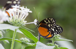 Tiger Longwing Butterfly, Heliconius hecale Stock Photos