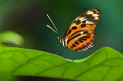 Tiger Longwing butterfly (Heliconius ismenius) Royalty Free Stock Photography