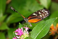 Tiger Longwing Butterfly Heliconius Ismenius feeding on flower. Butterflies Stock Images
