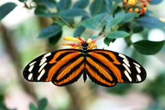 Tiger Longwing Butterfly Heliconius Ismenius feeding on flower. Nature Stock Image