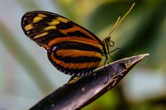 Tiger longwing butterfly heliconius Ismenius. Perching on a purple leaf photographed at the Butterfly Wonderland Scottsdale Arizona AZ United States US royalty free stock photo
