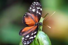 Tiger Longwing Butterfly manchado salvaje en Belice Imagen de archivo libre de regalías
