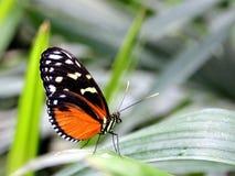 Tiger Longwing Butterfly på ett grässtrå Royaltyfri Bild