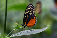 Tiger longwing butterfly royalty free stock photo