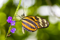Tiger Longwing Butterfly Royalty Free Stock Images