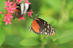 Tiger longwing Royalty Free Stock Image