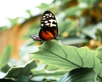 Tiger Longwing Butterfly imagens de stock royalty free