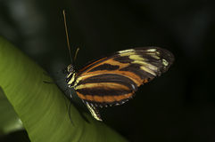 Tiger Longwing. A Tiger Longwing, (Golden Helicon), Heliconius hecale, butterfly of the family Nymphalidae royalty free stock images