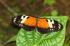 Tiger Longwing Stock Images