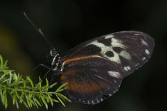 Tiger Longwing Royalty Free Stock Photography