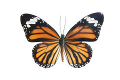 Tiger Longwing (Heliconius hecale) butterly Royalty Free Stock Image