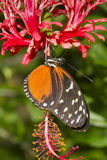 Tiger longwing (Heliconius hecale) on a flower Stock Photography