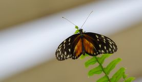 Orange and black, Tiger Longwing Heliconius hecale butterfly. royalty free stock photos