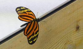 Tiger Longwing Heliconius-ismeniusvlinder stock afbeelding
