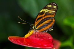 Tiger Longwing. Tropical Butterfly Tiger Longwing on the calla flower Stock Photos