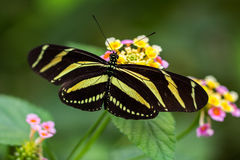 Tiger longwing. Tropical butterfly dido longwing on the flower Royalty Free Stock Photography